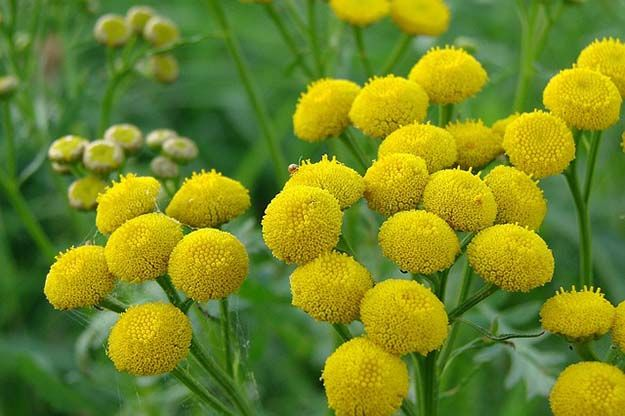 Tansy | 10 Powerful Medicinal Plants From Around the World | http://survivallife.com/medicinal-plants-from-around-the-world/