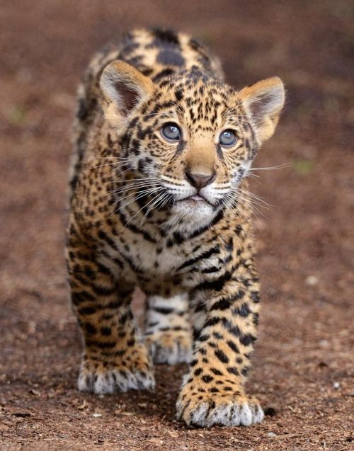 Jaguar cubs continue to nurse until they are five to six months old, although they eat meat caught by their mother. Learn more. (photo by Mike Wilson)