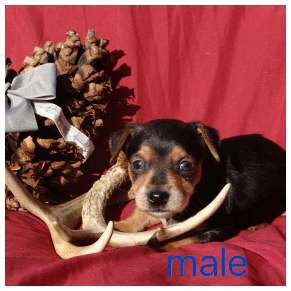 Adoption Status Unknown - Mary Esther, FL - Meet Chorkie-Chi pup #4, an adoptable Chihuahua looking for a forever home;  LOCATED at Save UnderDogs, Mary Esther, FL
