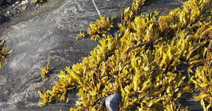 Comidas feitas com algas. Algas são ingredientes tradicionais e ricos em nutrientes, comumente utilizados na culinária asiática, principalmente no Japão. Kombu, wakame, nori e hijiki são alguns tipos de alga importantíssimos na culinária japonesa. Na Grã-Bretanha, na Islândia e na América do Norte, o dulse, outro tipo de alga, era uma comida tradicional, sendo diretamente ...