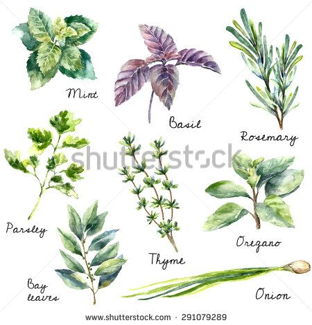 Watercolor collection of fresh herbs isolated: mint, basil, rosemary, parsley, oregano, thyme, bay leaves, green onion.Herbs vector object isolated on white background. Kitchen herbs and spices banner