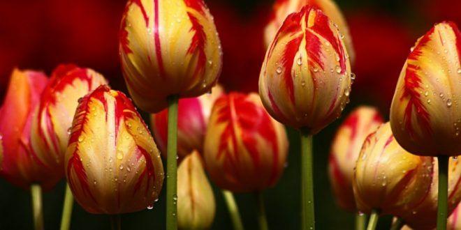 Galeri 16 Gambar Bunga Tulip Yang Indah | Gambar Pemandangan Indah