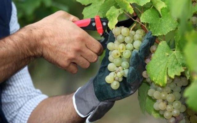 Sicurezza sul lavoro, i suggerimenti dell'Ispo per la viticoltura #viticoltura #sicurezza #sul #lavoro