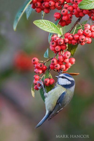 Blue Tit On Cotoneaster Berries - Mark Hancox Bird Photography =)