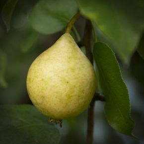 This is a link to Hardy Fruit Trees Nursery. They sell fruit trees for northern Canada. They have several pear varieties which they claim are all yummy!
