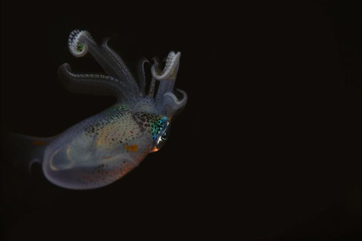 Bigfin reef squid seen off Anilao, Philippines