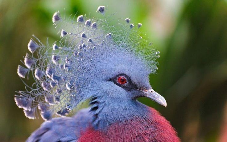 paloma  Victoria Coronada