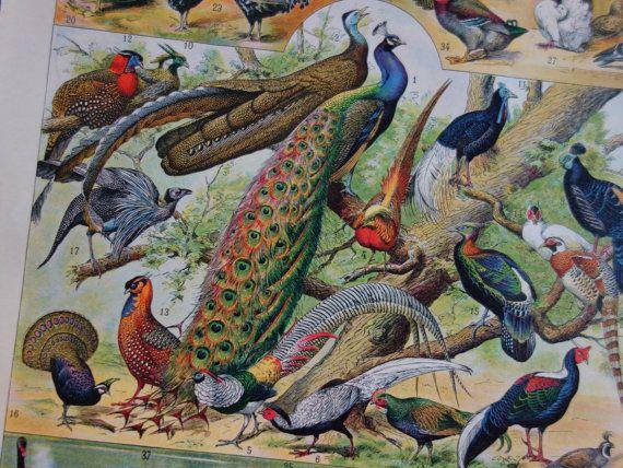 Antique bird print 1902 original old vintage by DecorativePrints