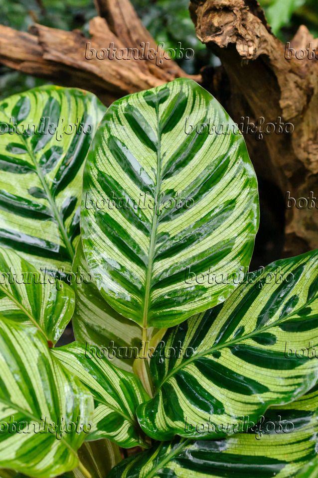 478099 - Marante (Calathea makoyana)