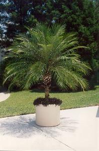 Potted Pygmy Date Palm