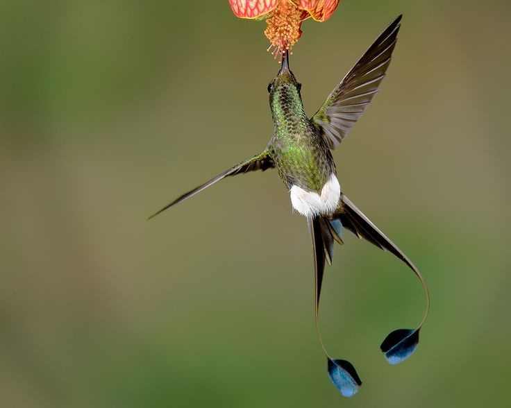 Pin By Joanne Rigutto On Booted Racket Tail Hummingbird Hummingbirds Photography Pet Birds Beautiful Birds