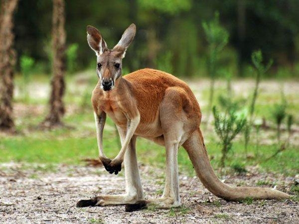 Интересные факты про кенгуру