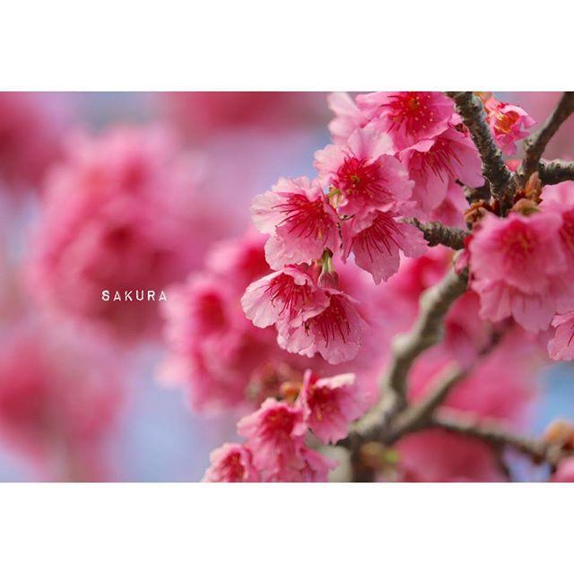【_anstagram._】さんのInstagramをピンしています。 《* 八重岳桜祭り〜🌸 先週に引き続き、 頂上でアイスクリンの売り子してます♩ 天気も良すぎてアイスクリン日和🍨 桜も七分咲きです☺️💗 #沖縄#本部#八重岳#八重岳桜祭り#ひと足お咲に#日本一早い桜祭り#桜#七分咲き#一眼レフ#camera#canon8000d#カメラ女子#ファインダー越しの私の世界》