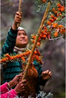 Did you know that Tibetan women traditionally harvest sea buckthorn? Sibu raised their wages 400%. Now these ladies make enough during the 4-6 week harvest to provide for their families throughout the harsh Himalayan winter.