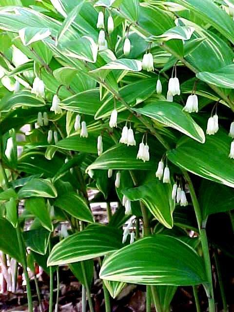 77 best part shade north porch and walkway images on pinterest polypogatum odoratum variegatum one of my favorite shade perennials and one of the easiest to grow mightylinksfo
