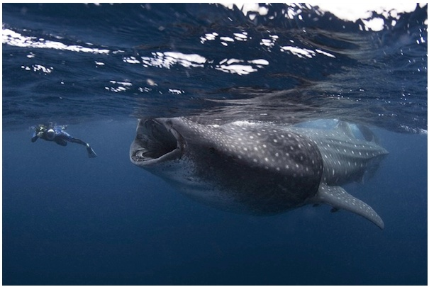 whale shark feeding on krill... diver should maybe swim faster :-)   #nature #sea #ocean #whale_shark