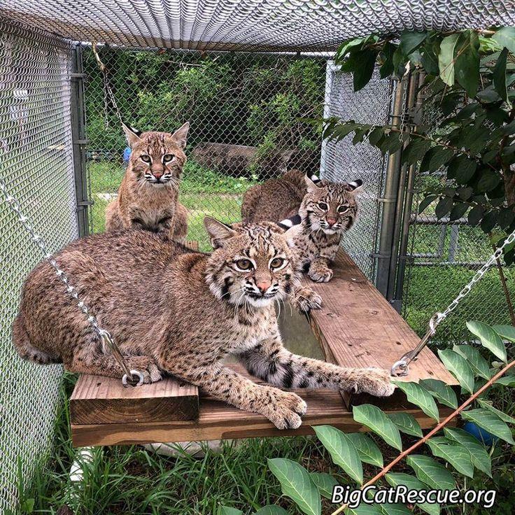 Pin by marta Tijskens on Big Cats Wild cats, Big cat