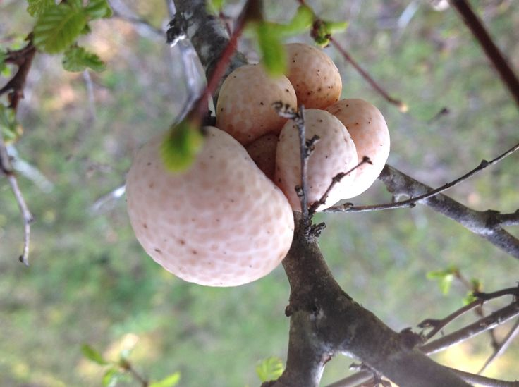 Digüeñes (Cyttaria espinosae) en Araucanía. Hongo comestible parásito del roble (hualle / Nothofagus oblicua).