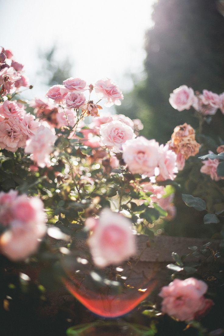 pink rose bush//