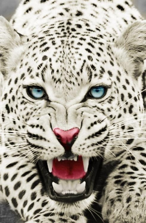 Not a snow leopard. This is a yellow African leopard that has been photoshopped. They can be yellow or black, but not white. And adults don't have blue eyes. *this is now gaby speaking* yeah they can have blue eyes, it's just uncommon and yes they used photoshop to make the coat lighter*