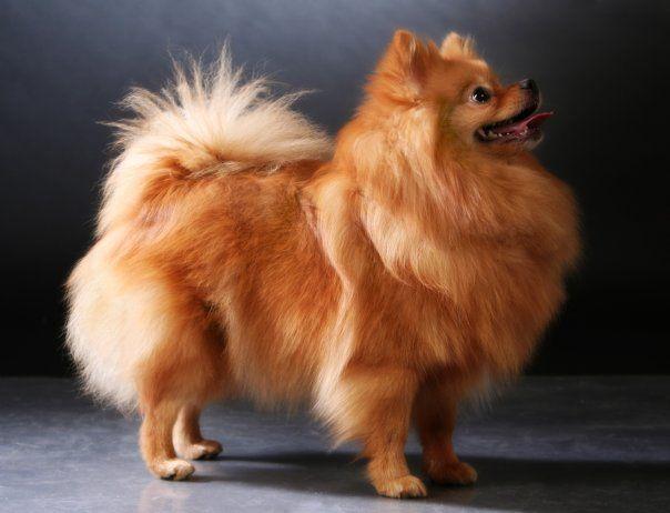 квартирные породы собак с фото и описанием