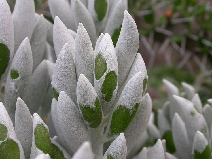 Senecio Haworthii - also called cocoon plant.  The leaves are very soft to the touch.  Take care when watering - it rots easily.