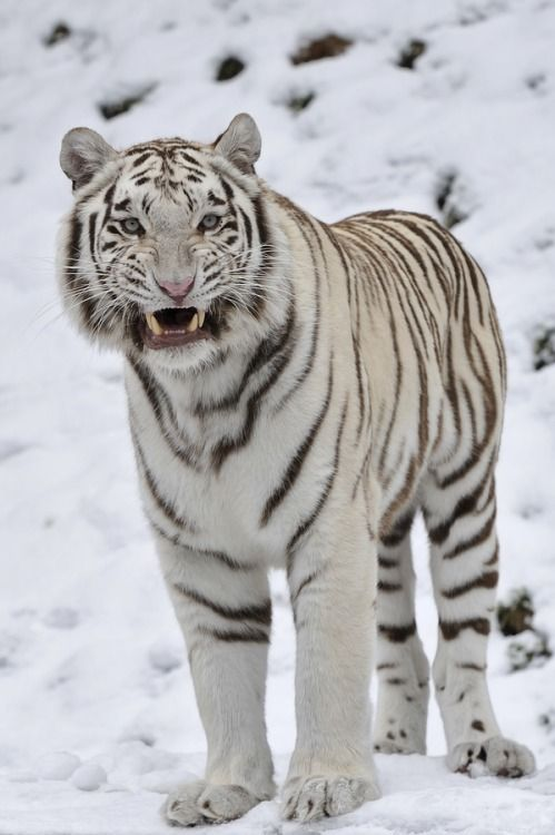 299 best TIGRE BRANCO (WHITE TIGER) images on Pinterest ...