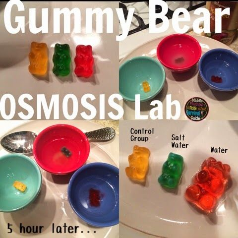 Gummy Bear Osmosis Lab Report