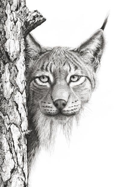 Artwork Lynx. Limited Edition 25 fine art print by DaisyClaridge