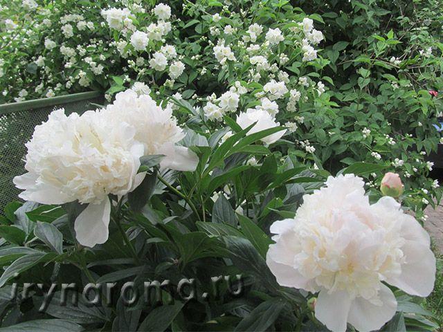 תוצאת תמונה עבור белые цветы