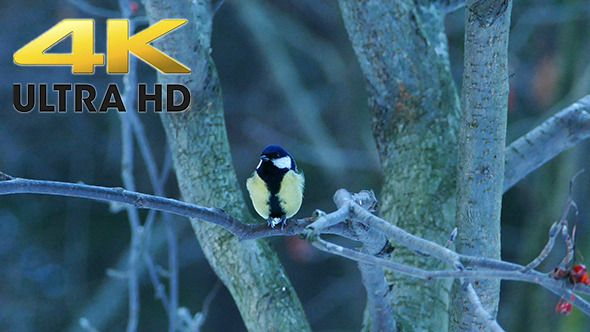 Great Tit Bird (Parus major) Eating in Forest