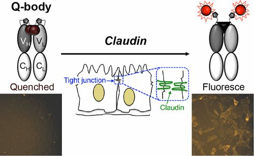 Development of a Quenchbody for the Detection and Imaging of the Cancer-Related Tight-Junction-Associated Membrane Protein Claudin