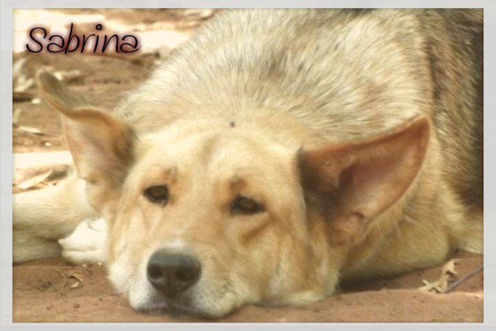 Sabrina es un cruce de #pastor alemán que llegó al refugio desde la perrera de Almonte. Es una #perra tranquila y equilibrada y está en #adopcion en La Candela, #Spain http://protectoralacandela.org/sabrina/