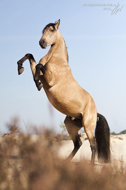 Valk Hengst Llevado (Barokke paarden)