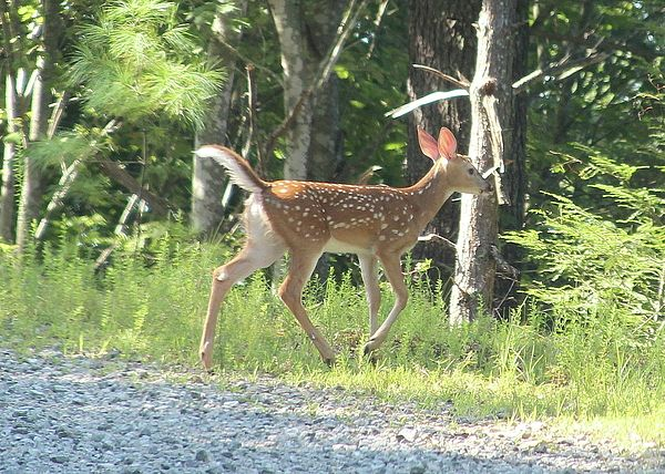 Whitetail Fawn Running Away By Cathy Lindsey Deer Photography Fawn Whitetail Deer