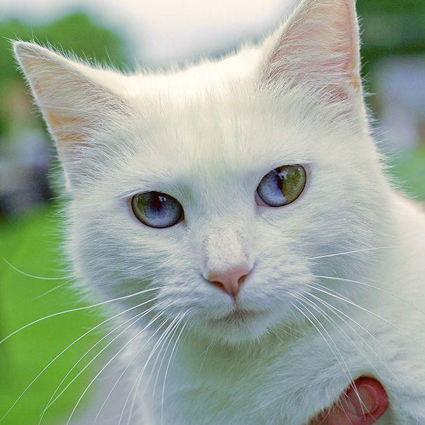 左右の目の色が違う『オッドアイ』。魅力的な美しさに引き込まれてしまいますが、オッドアイの中でも神秘の目を持つ猫ちゃん達がいるのです!なんとその猫ちゃん達、目の中になんと【宇宙】が映っているのです。目の中に【宇宙】を持つ、神秘的で不思議な魅力を持つ猫ちゃん達を画像でご紹介しちゃいます☆