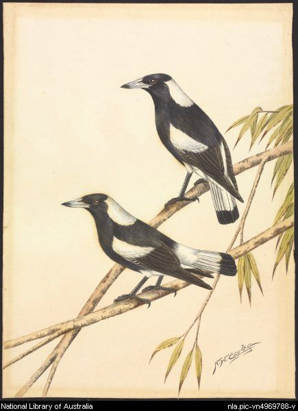 Cayley, Neville W. (Neville William), 1886-1950.  Two black-backed magpies, ca. 1930 [picture]  ca. 1930. 1 painting : watercolour ; 25.3 x 18.8 cm.  Part of Gould League collection of prints and watercolours of Australian birds and animals [picture] 1930-1960.  From National Library of Australia collection  http://nla.gov.au/nla.pic-vn4969788  nla.pic-vn4969788