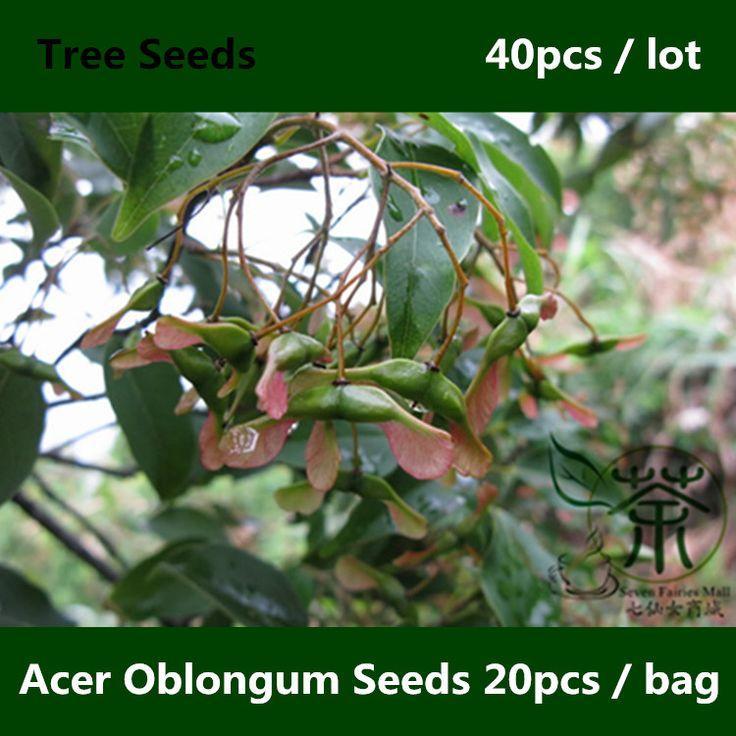 Вечнозеленое дерево Acer Oblongum семена 40 шт., Декоративное растение происхождения гималайский семена клена, Семья Sapindaceae кашмир семена клена