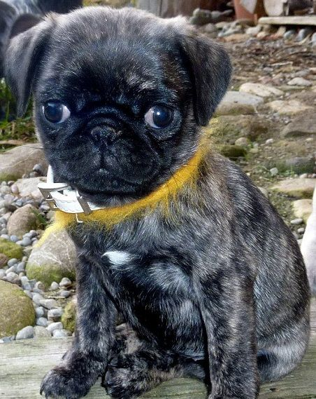 Cute Brindle Pug Puppy. I have a brindle pug, they are gorgeous!!! J.