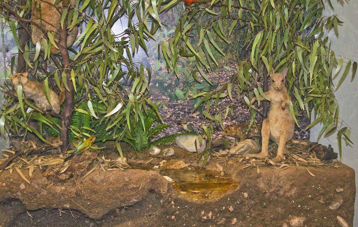 Rappresentazione di un ambiente australiano della flora e della fauna. Sfondo fotografico, vegetazione realizzata appositamente per il lavoro. Museo zoologico Università di Cagliari.