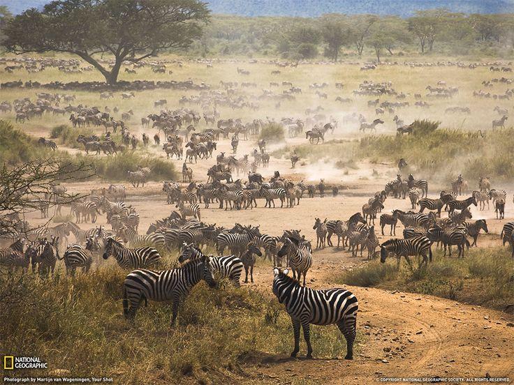 La migrazione delle zebre, Tanzania Fotografia di Martijn van Wageningen
