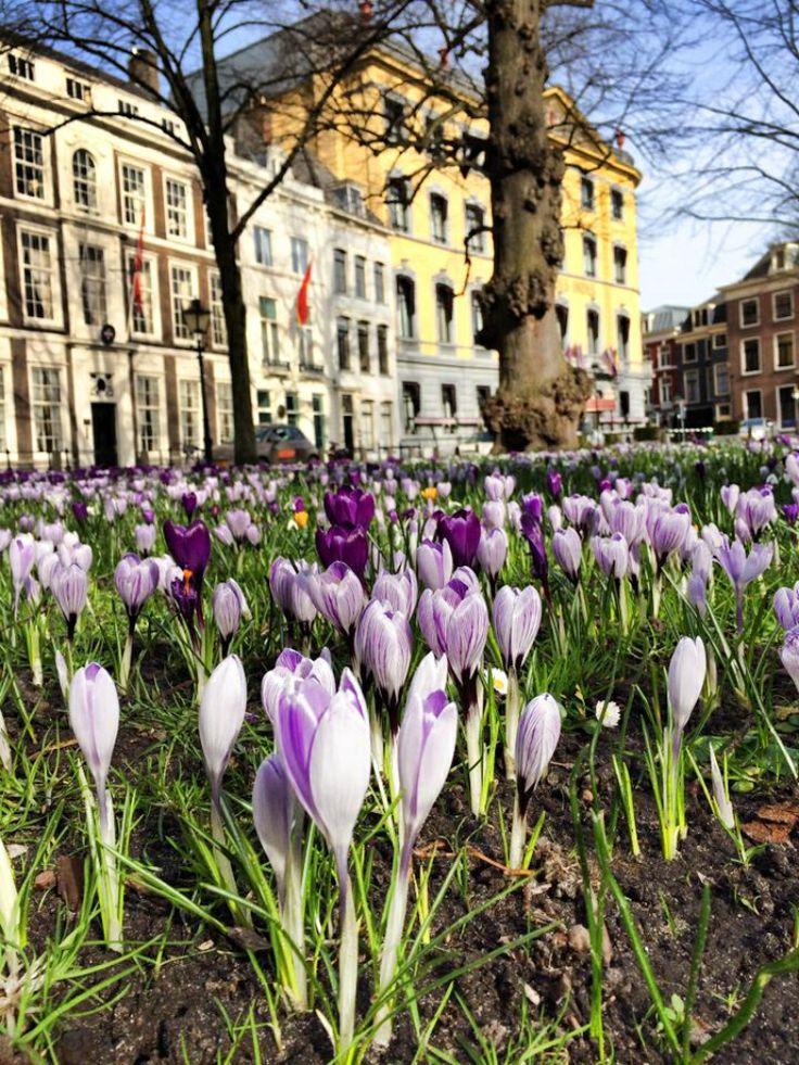 Crocus -Spring Lange Voorhout - The Hague - Hotel Des Indes - Den Haag