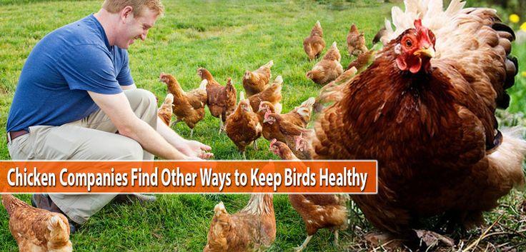 Chicken Companies Find Other Ways to Keep Birds Healthy | PSSC
