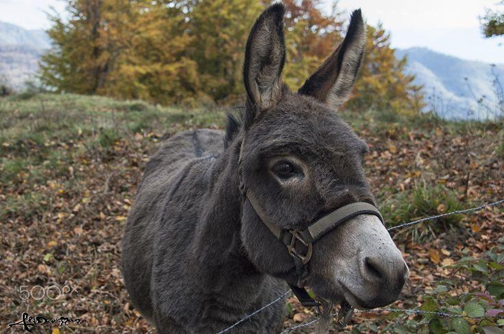 Ciuchino - Ciuchino.. a little donkey, walking in the mountain side near my village