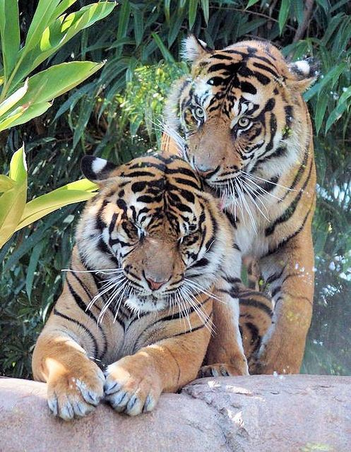 Tiger Brotherly Love | by greekgal.esm