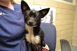 Mr. Man is an #adoptable Chihuahua Dog in #Dewitt, #NEWYORK. Mr. Man is an adult Chihuahua mix who arrived 3/1/13. He's neutered and was found hiding under cars in Syracuse. He loves women and is unsure of me...