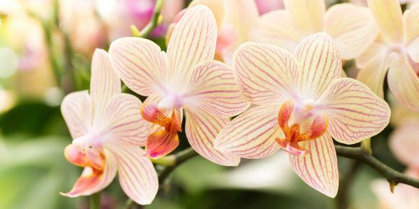 Orchidea: come coltivarla in casa e in giardino