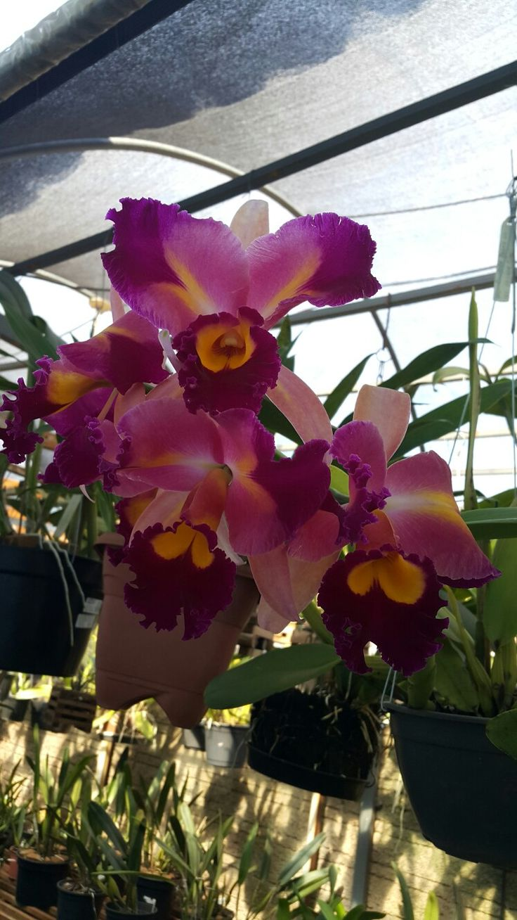 Blc. Chinese Beauty