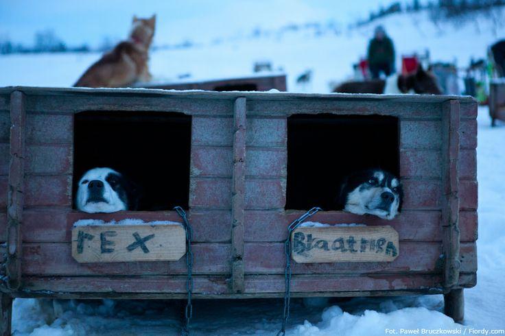 Psie zaprzęgi w okolicach Tromsø, Norwegia. Psy czekają w swoich budach na swoją kolej. Ciągnięcie zaprzęgu to dla nich okazja do ruchu i zabawy. #Norwegia #Tromsø #fiordy #emocjewcenie