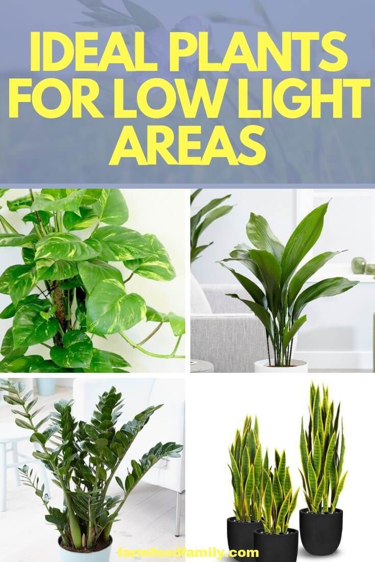 4 Ideal Plants For Low Light Areas   Low light plants ... on